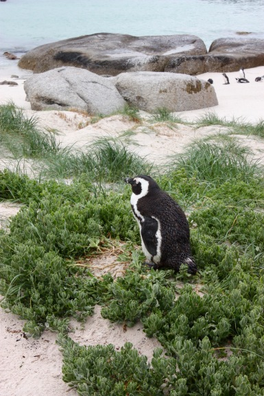 Pinguin Boulder's Beach