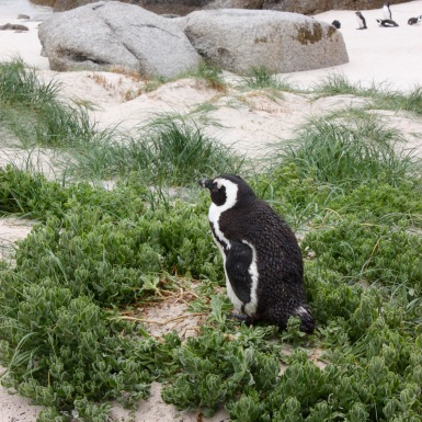 Pinguin Boulder's Beach