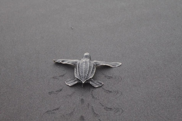 a-baby-leatherback-leaves-tracks-on-the-sand-as-it-makes-its-way-to-the-ocean-bailey