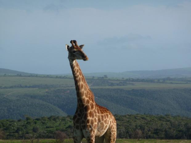 giraffe-1815304_1920